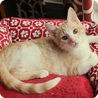 Adopt A Pet :: Marshmallow - Homewood, AL