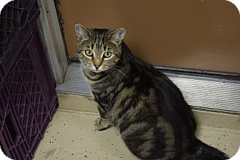 Domestic Shorthair Cat for adoption in Pottsville, Pennsylvania - Melody