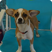 Rat Terrier/Chihuahua Mix Puppy for adoption in Lodi, California - Charli