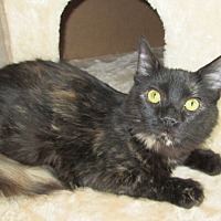 Domestic Mediumhair Cat for adoption in San Bernardino, California - Bronwyn