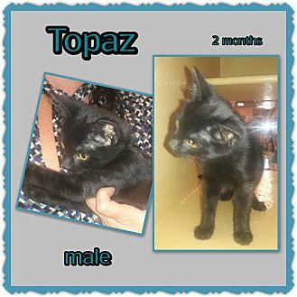 Domestic Shorthair Kitten for adoption in Richmond, California - Topaz