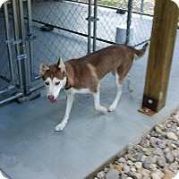 Adopt A Pet :: Sierra - Fredericksburg, VA