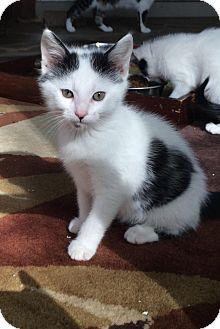 Domestic Shorthair Kitten for adoption in Franklin, Indiana - Spot