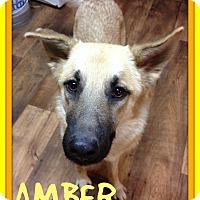 German Shepherd Dog Dog for adoption in Mount Royal, Quebec - AMBER