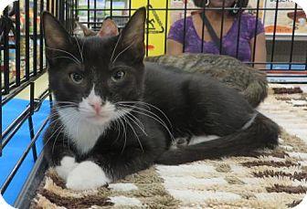 Domestic Shorthair Kitten for adoption in Ellicott City, Maryland - .Pooh Bear