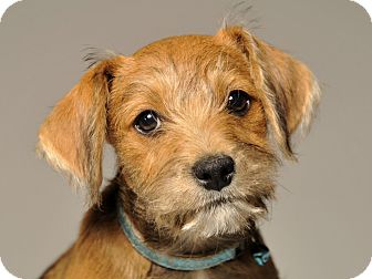 Terrier (Unknown Type, Small)/Chihuahua Mix Puppy for adoption in Crossville, Tennessee - Jingles - Adoption Pending