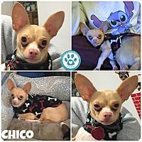 Adopt A Pet :: Chico - Kimberton, PA