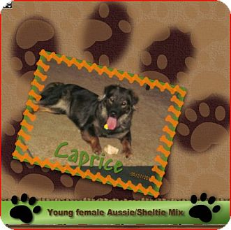 Australian Shepherd/Sheltie, Shetland Sheepdog Mix Dog for adoption in Elyria, Ohio - Caprice
