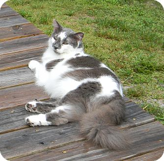 Domestic Longhair Cat for adoption in Bonita Springs, Florida - Cashmere