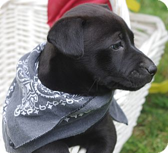 Labrador Retriever/French Bulldog Mix Puppy for adoption in Groton, Massachusetts - Maggie