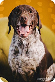 German Shorthair Pointer Mix To Download Labrador Retriever And German