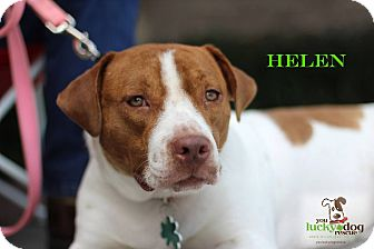 American Staffordshire Terrier Mix Dog for adoption in Alpharetta, Georgia - Helen