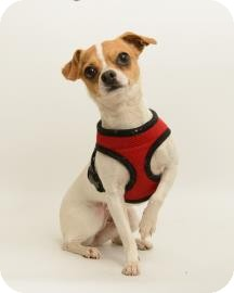 Chihuahua Mix Dog for adoption in Santa Cruz, California - Lizzy