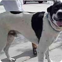 Adopt A Pet :: Bogie - Las Vegas, NV