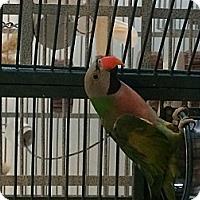 Adopt A Pet :: Kiwi - Punta Gorda, FL