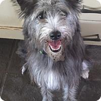 Adopt A Pet :: Misty - ADOPTION PENDING! - Norwalk, CT