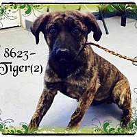 Labrador Retriever/Pit Bull Terrier Mix Dog for adoption in Dillon, South Carolina - Tiger 2