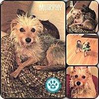 Adopt A Pet :: Murphy - Kimberton, PA
