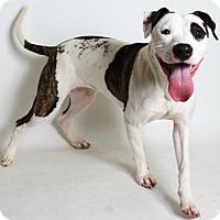 Adopt A Pet :: Abby - Redding, CA