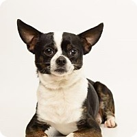 Boston Terrier/Chihuahua Mix Dog for adoption in Santa Cruz, California - Irvin