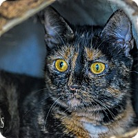 Domestic Shorthair Cat for adoption in Martinsville, Indiana - Expresso