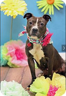 American Pit Bull Terrier Mix Dog for adoption in Manhattan, New York - Bubbles