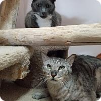 Domestic Shorthair Cat for adoption in Seattle, Washington - Sprocket