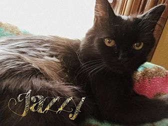 Domestic Mediumhair Cat for adoption in Grand Blanc, Michigan - Jazzy