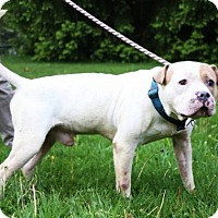 Pit Bull Terrier Mix Dog for adoption in Beckley, West Virginia - Jake Ryan