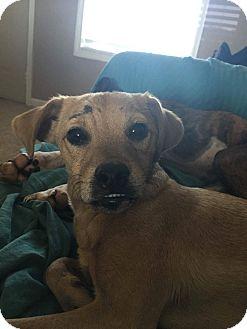 Border Terrier/Pug Mix Dog for adoption in Russellville, Kentucky - Bingo