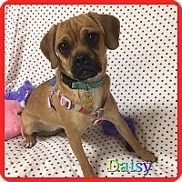 Adopt A Pet :: Daisy - Hollywood, FL