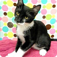 Adopt A Pet :: Socks - Tyler, TX