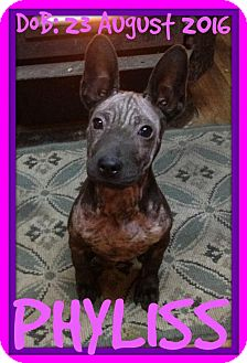 Xoloitzcuintle/Mexican Hairless Mix Puppy for adoption in Sebec, Maine - PHYLISS