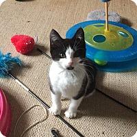 Adopt A Pet :: Squeeks - Oxnard, CA