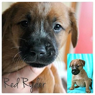 American Bulldog/American Pit Bull Terrier Mix Puppy for adoption in Garden City, Michigan - Ryder