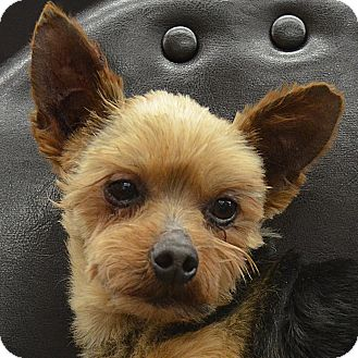yorkie rescue missouri luke adopted dog bridgeton mo yorkie yorkshire terrier 7705