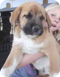 chow bulldog mix chow pup 1 adopted puppy anza ca bulldog chow chow mix 9107