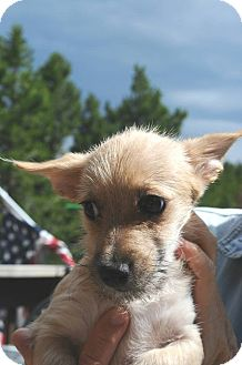 Terrier (Unknown Type, Small) Mix Puppy for adoption in Denver, Colorado - Teddy