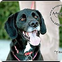 Adopt A Pet :: Yankee - Waldorf, MD