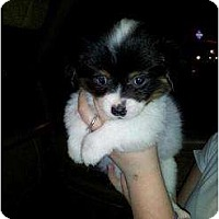 Adopt A Pet :: Solomon - Lexington, TN