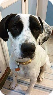 Labrador Retriever/Catahoula Leopard Dog Mix Dog for adoption in Seahurst, Washington - Lucy