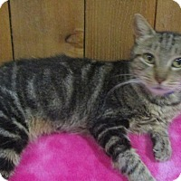 Adopt A Pet :: Marge (Marbleized Bengal mix) - Witter, AR