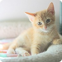 Domestic Shorthair Kitten for adoption in Concord, North Carolina - Louie