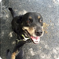 German Shepherd Dog/Rottweiler Mix Dog for adoption in Jupiter, Florida - Mandy