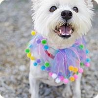 Adopt A Pet :: Bella - Spring Valley, NY
