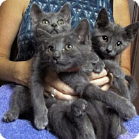 Adopt A Pet :: 3 Russian Blue Mix Kittens - Brooklyn, NY