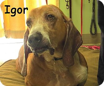 Basset Hound Mix Dog for adoption in Warren, Pennsylvania - Igor (Iggy)
