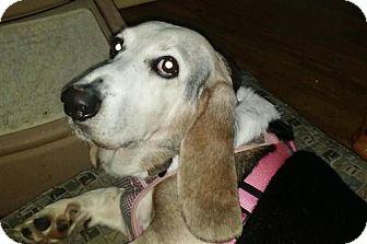 Basset Hound Dog for adoption in Charleston, South Carolina - Trilly