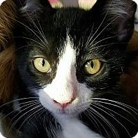 Domestic Shorthair Kitten for adoption in Rowlett, Texas - Sylvester