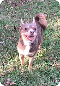Chihuahua/Schipperke Mix Dog for adoption in Va Beach, Virginia - Kiko